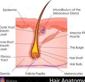 hair-anatomy-easy-to-edit-illustration-human-31606502