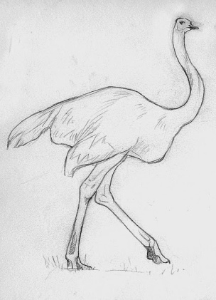 Image result for drawing of pretty ostrich