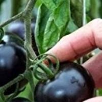 Transgenic  Tomatoes!