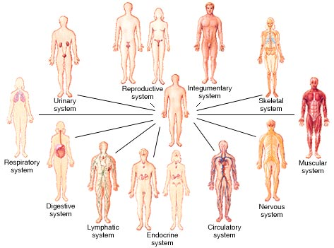 Image result for how many systems in your body